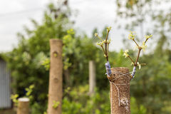 Geënt aan een boom, prachtig Stock Foto