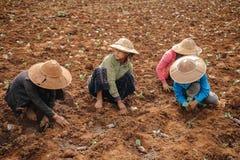 Gente asiatica birmana che lavora al campo di agricoltura Fotografia Stock