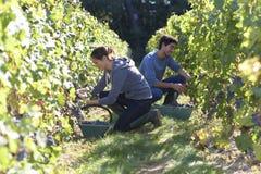 Gente joven en los viñedos que trabajan difícilmente Fotos de archivo