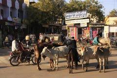 Gente locale e mucche selvagge sulla via di Bundi, India fotografia stock