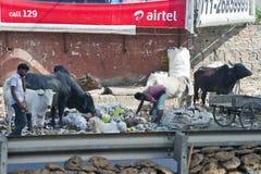 Gente pobre en la cosecha de la India a través de la basura con las vacas Fotos de archivo