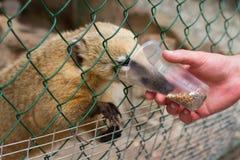 Gente que alimenta el mapache Imagenes de archivo