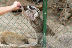 Gente que alimenta el mapache Imagen de archivo