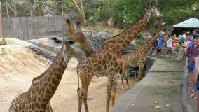 Gente que alimenta la jirafa de las manos en el parque zoológico abierto de Khao Kheow tailandia almacen de metraje de vídeo