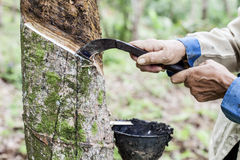 Gente que corta el árbol de goma golpeado ligeramente con el cuchillo Foto de archivo libre de regalías
