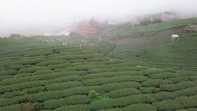 Gente que cosecha las hojas de té de Oolong en la plantación en el área de Alishan, Taiwán Visión aérea en tiempo de niebla almacen de video