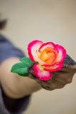 Gente que cultiva un huerto de las manos oscuras con las rosas Fotografía de archivo