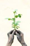 Gente que cultiva un huerto de las manos oscuras con las rosas Foto de archivo