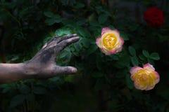 Gente que cultiva un huerto de las manos oscuras con las rosas Foto de archivo libre de regalías