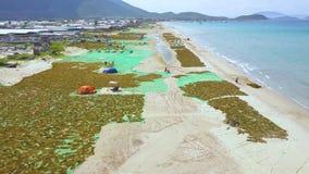 Gente que escoge alga marina y la sequedad en la opinión del abejón de la orilla de mar Mar del paisaje aéreo y sequedad azules d metrajes