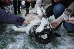 Gente que frota ligeramente el perro esquimal foto de archivo