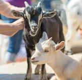 Gente que juega con las cabras Fotografía de archivo