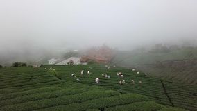 Gente que recoge las hojas de té de Oolong en la plantación en el área de Alishan, Taiwán Visión aérea en tiempo de niebla almacen de video