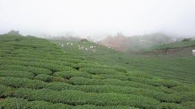 Gente que recolecta las hojas de té de Oolong en la plantación en el área de Alishan, Taiwán Silueta del hombre de negocios Cower almacen de metraje de vídeo