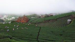 Gente que recolecta las hojas de té de Oolong en la plantación en el área de Alishan, Taiwán Visión aérea en Misty Weather almacen de metraje de vídeo
