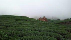 Gente que recolecta las hojas de té de Oolong en la plantación en el área de Alishan, Taiwán Visión aérea en tiempo de niebla metrajes