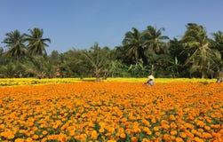 Gente que trabaja en los campos de flor de la margarita Fotografía de archivo
