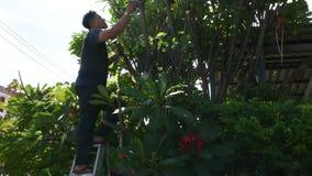 Gente tailandese degli uomini che fa il giardinaggio e che taglia l'albero di potatura di plumeria del ramo in giardino alla part stock footage