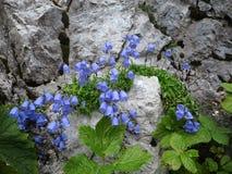 Gentiaanbloemen op rotsachtige steile rots Stock Afbeeldingen