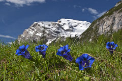 Gentian Stock Images