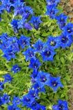 gentian Royaltyfria Bilder