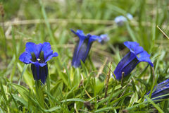 Gentian Royalty Free Stock Image