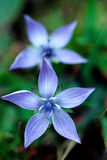 Gentian Royalty Free Stock Images