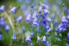 Gentian on Alpine Meadow Stock Images