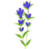 Gentian - birth flower vector illustration in watercolor paint  Royalty Free Stock Images