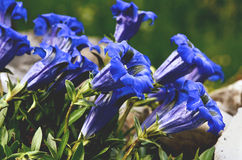 Gentian blue flowers Stock Photos