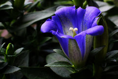 Gentian. A detail observation of the typical flower of the Alps Stock Photo