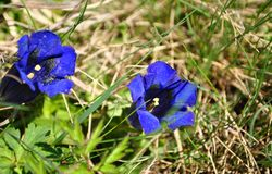 Gentian flower Stock Photo