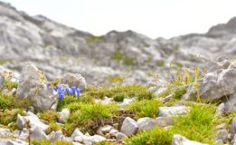 Gentian flower. High in the hills. With blurred mountains for the background Royalty Free Stock Photos