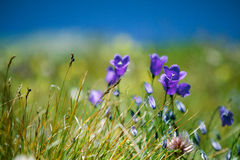 Gentian Flowers Royalty Free Stock Image