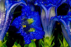 Gentian flowers with exquisite comforts the soul Royalty Free Stock Image