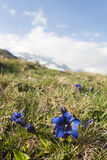 Gentian flowers Stock Photography
