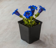 Gentian (Gentiana grandiflora)  plant in a flowering pot Stock Photo