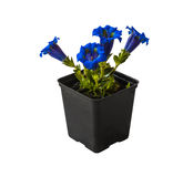Gentian (Gentiana grandiflora)  plant in a flowering pot on whit Royalty Free Stock Image