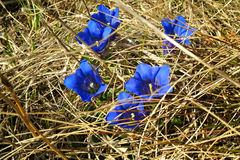 Gentian hidden in the meadow Royalty Free Stock Photo