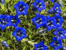 Gentian - many blue flowers Stock Photography