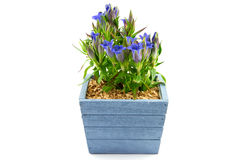 Gentian plant in a blue flowering pot Stock Image