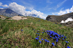 Gentian Primaticcia in mountain Royalty Free Stock Photography