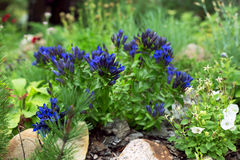 Gentian in the rock garden Stock Images