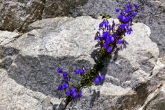 Gentian between rock Royalty Free Stock Images