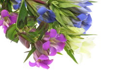 Gentian in a white backgroun Royalty Free Stock Photo
