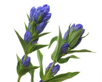 Gentian in a white background Royalty Free Stock Photos