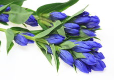 Gentian in a white background Stock Photos