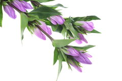 Gentian in a white background Royalty Free Stock Image