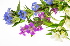 Gentian in a white background Royalty Free Stock Photography