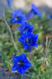 Gentiana acaulis Royalty Free Stock Photography